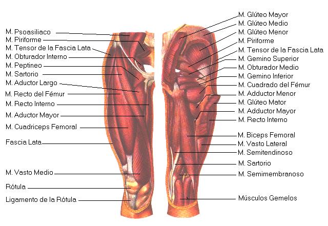 Anatomía del Corredor - Torso Inferior y pies
